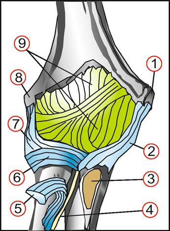 Топографическая анатомия локтевого сустава цена импланта тазобедренного сустава боткинской больнице